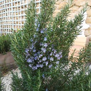 Romarin. feuilles Tisane en vrac 30g
